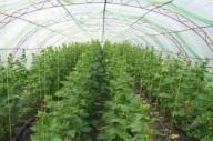 Выращивание огурцов в парнике и теплице
